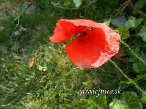 Opojné leto kvetu makového