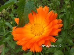 Oranžový rozkvitnutý kvet Nechtíka v záhrade