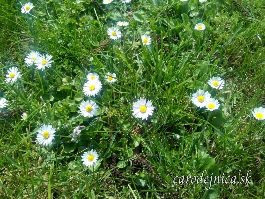 Rozkvitnuté sedmikrásky v tráve