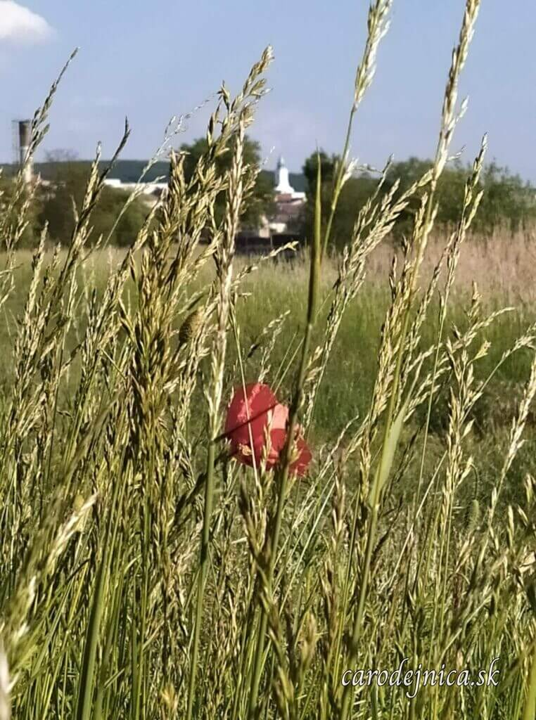Panoráma z trávy v čase kvitnutia vlčích makov