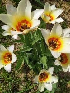 kvety tulipány