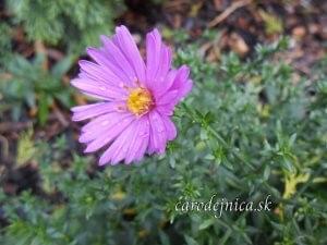 fialová chryzantéma s kvapkou rosy