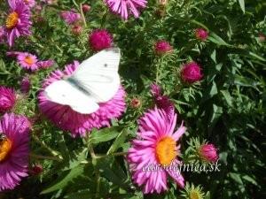 biely motýľ na chryzantéme