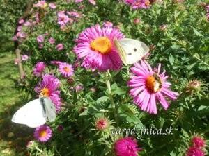 biele motýle na kvetoch chryzantémy
