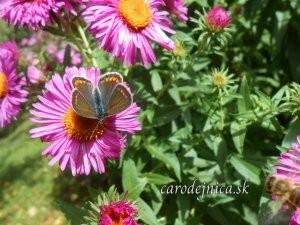 motýľ na chryzantéme
