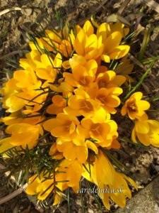 žlté krokusky
