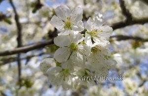 biele kvety čerešne